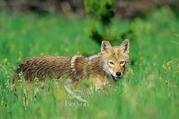 Coyote in meadow with wildflowers.  Western U.S., summer.
