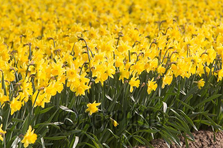 Daffodils in the Lincolnshire Fens<br /> Picture Tim Scrivener 07850 303986