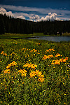 Field of yellow daisies in front of lake with mountains