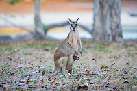 Agile Wallaby and Joey at Lotusbird Lodge, near Musgrave Station in Cape York, Australia