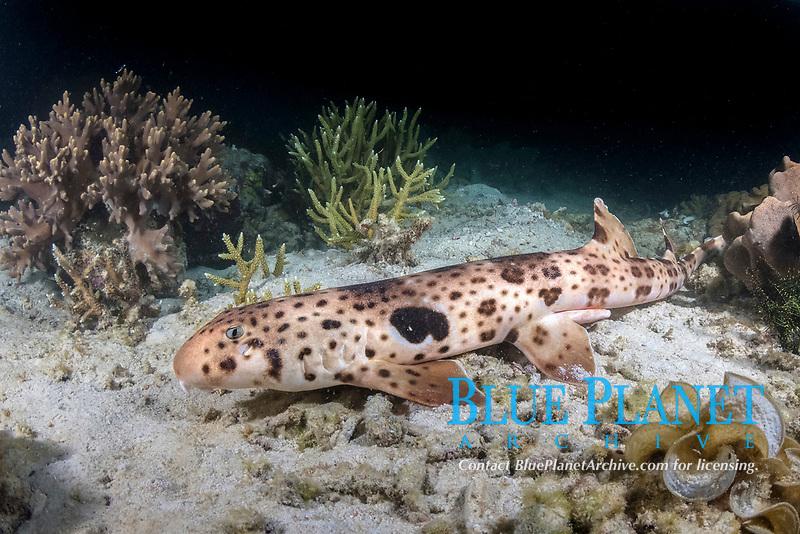 Triton Bay Epaulette Shark, Hemiscyllium henryi. Aka Henry's epaulette shark. A bamboo shark endemic to Triton Bay in West Papua, Indonesia.
