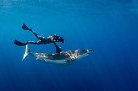 great white shark, Carcharodon carcharias, with free diving cameraman, Guadalupe Island, Mexico, Pacific Ocean