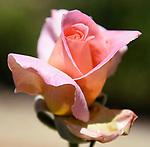 Curbside Roses