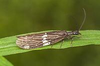 Dark Fishfly (Nigronia serricornis)