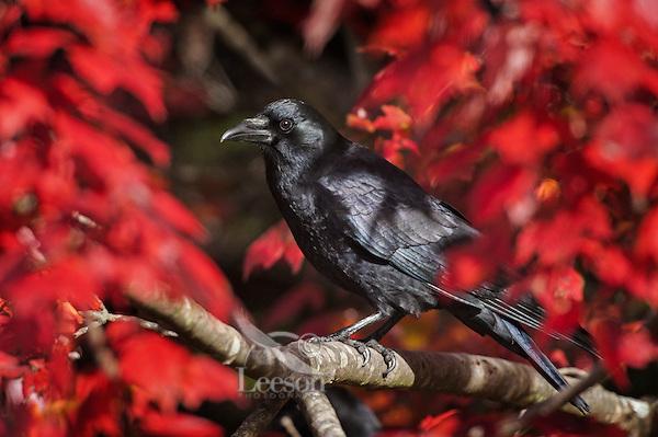 Common Crow (Corvus brachyrhynchos) in a Red Maple tree. Autumn. Nova Scotia, Canada..
