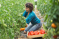 Europe/France/Aquitaine/47/Lot-et-Garonne/Fongrave: Elodie Chauvel, agricultrive en agriculture raisonnée à la Ferme des Tuileries récolte ses tomates du Marmandais Auto N: A12-3008  // Europe / France / Aquitaine / 47 / Lot-et-Garonne / Fongrave: Elodie Chauvel, farmer in sustainable agriculture at the Tuileries Farm harvesting her Marmandais tomatoes Auto N: A12-3008