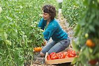 Europe/France/Aquitaine/47/Lot-et-Garonne/Fongrave: Elodie Chauvel, agricultrive en agriculture raisonnée à la Ferme des Tuileries récolte ses tomates du Marmandais Auto N: A12-3008  // Europe / France / Aquitaine / 47 / Lot-et-Garonne / Fongrave: Elodie Chauvel, farmer in sustainable agriculture at the Tuileries Farm harvesting her Marmandais tomatoes Auto N: A12-3008