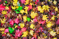 Close up of Japanese Maple leaves in fall color. Oregon