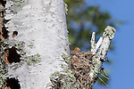 Eastern kingbird chicks in nest