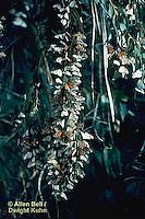 MO11-001z  Monarch Butterfly - Pismo Beach CA, winter migration, hanging on Eucalyptus tree- Danaus plexippus   ©Allen Bell/ Dwight Kuhn Photography
