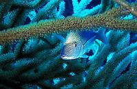 Lutjan Seaperch (Lutjanus kasmira) hiding in soft coral, Paraiso, Cozumel Island, Mexico.