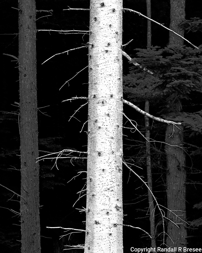 """""""Trees Near Gingolx"""" <br /> British Columbia, Canada<br /> <br /> This photograph was recorded near Gingolx in western British Columbia, Canada. I tried to contrast the whiteness of a birch tree with darker trunks of other trees."""