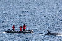 killer whale or orca, Orcinus orca, Type A killer whale, surfacing near researchers, Gerlache Strait, Antarctica, Southern Ocean