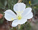 Evening Primrose near Bell Rock, Arizona