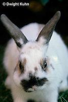 SH51-002x  Pet Rabbit - Dwarf