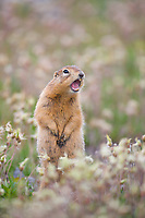 Arctic ground squirrel on the tundra, Arctic National Wildlife Refuge, Arctic, Alaska.