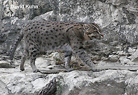 0906-0814  Fishing Cat, Prionailurus viverrinus  © David Kuhn/Dwight Kuhn Photography.