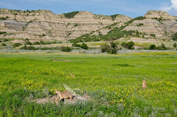 Black-tailed Prairie Dogs (Cynomys ludovicianus) in prairie dog town.  Prairie badlands, Theodore Roosevelt National Park, North Dakota, summer.