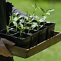 A box of chilli seedlings grown in pots, late June.