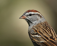 Small Chipping Sparrow in early Spring plumage.