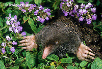 MB25-006a  Hairy-tailed Mole - digging - Parascalops breweri