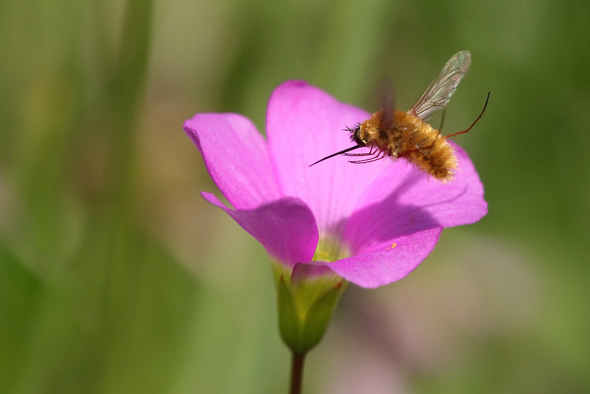 """Bee Fly with shadow over our Texas native pink Oxalis wildflower. Titled for the extra long """"sword-like"""" probocis of this insect. L'Image Magazine - Nature & Wildlife Edition."""