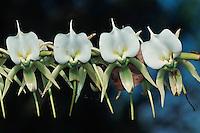 Angraecum Orchid (Angraecum sp), Madagascar, Africa