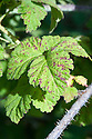 Raspberry cane spot causes purple spots or elliptical patches with white centres to appear on canes and leaves - also on flowers and sometimes fruit. It a fungus - Elsinoe veneta.