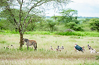 white-backed vultures (Gyps africanus) and a marabou stork (Leptoptilos crumeniferus), stalking a common zebra foal (Equus quagga) that has lost its mother, waiting for her to die, Ndutu, Ngorongoro Conservation Area, Serengeti, Tanzania, Africa