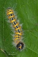Mondvogel, Mondfleck, Raupe, Phalera bucephala, buff-tip moth, Zahnspinner, Notodontidae, prominents