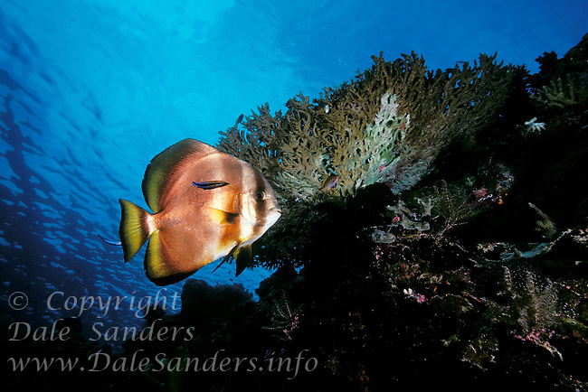 Adult Round Batfish ( Platax orbicularis) underwater at a cleaning station in the Celebes Sea at Sipidan Island off Borneo in Malyasia.
