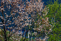 Shadblow In Bloom Near Lake George In The Adirondack Mountains Of New York State