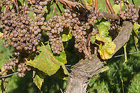 Europe, France, Aquitaine, Pyrénées-Atlantiques, Béarn, Jurançon: Vignoble du  Domaine  Larredya, Cépage Gros manseng // Europe, France, Aquitaine, Pyrenees Atlantiques, Bearn, Jurançon: Camin Larredya domain Vineyard, Wine grape variety Gros manseng