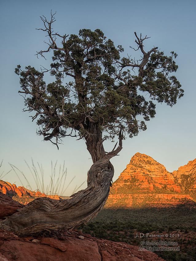 Juniper along Mescal Trail, Arizona