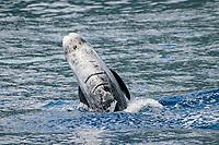 risso dolphin, Grampus griseus, Azores Island, Portugal, North Atlantic