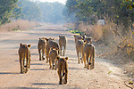 African Lion (Panthera leo) pride walking on road, Kafue National Park, Zambia