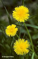 DN01-004e  Dandelion - Taraxacum officinale.
