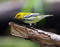 Male black-throated green warbler in fall migration