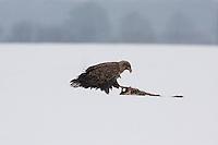 Seeadler, See-Adler, Adler, Haliaeetus albicilla, White-tailed Eagle, Pygargue à queue blanche