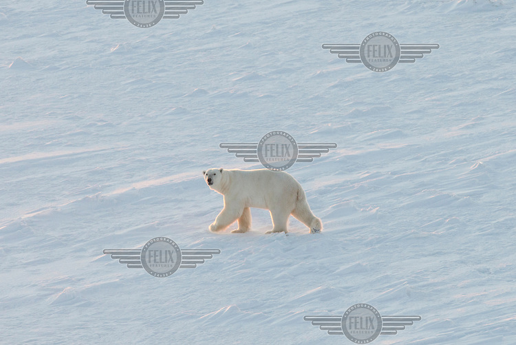 A polar bear walks across thick sea ice as the ice breaking and supply ship 'Fedor Ushakov' passes during its voyage along the Northern Sea Route.