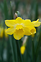 Narcissus 'Dickcissel', early April.