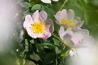 Hunds-Rose, Hundsrose, Heckenrose, Wildrose, Rose, Rosen, Rosenblüten, Blüte, Blüten, Rosenblüte, Wildrosen, Heckenrosen, Rosa canina, Common Briar, Briar, Dog Rose, Eglantier commun, Rosier des chiens