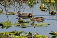 Gsdwall duck pair.  Klamath National Wildlife Refuge, Oregon. Late May.