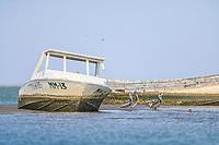 Several pelicans pose on the floor of the estuary at low tide next to two old fishing boats sunk and abandoned at the Ramsar site, La Cruz lagoon and estuary in Kino viejo, Sonora, Mexico.<br /> (Photo: Luis Gutierrez / NortePhoto.com).<br /> <br /> Varios pelicanos posan en el suelo de estero por la marea baja junto a dos viejos botes de pesca hundidos y abandonados en en el sitio Ramsar, laguna y estero La Cruz en  Kino viejo, Sonora, Mexico. <br /> (Photo: Luis Gutierrez / NortePhoto.com).