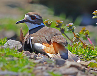Killdeer feigning injury to draw me away from her nest which I never saw. After I moved on the bird recovered and flew off of course. Clever bird.