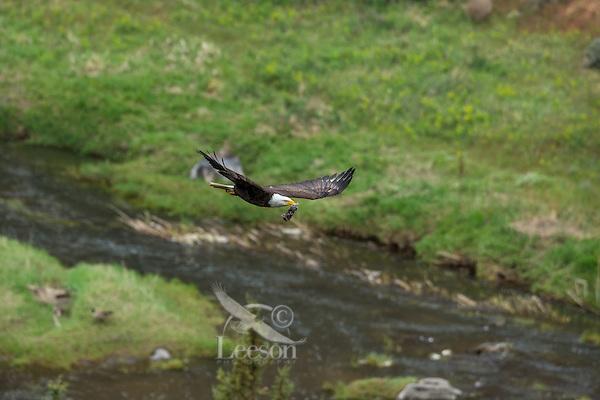 Bald Eagle (Haliaeetus leucocephalus)--adult bringing young cottontail rabbit back to nest.  Oregon.  May.