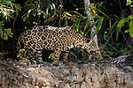 Female Jaguar (Panthera onca palustris) hunting along the edge of the Cuiaba River. Porto Jofre, northern Pantanal, Mato Grosso State, Brazil.