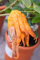 Citrus medica var. digitata 'Mano Di Buddha' Buddha's Hand bizarre weird fruit