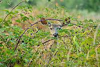 Young Columbian black-tailed deer (Odocoileus hemionus columbianus) buck feeding on blackberries.  Olympic National Park, WA.  Sept.