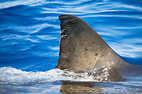 great white shark, Carcharodon carcharias, dorsal fin, with parasitic copepod, Guadalupe Island, Mexico, Pacific Ocean